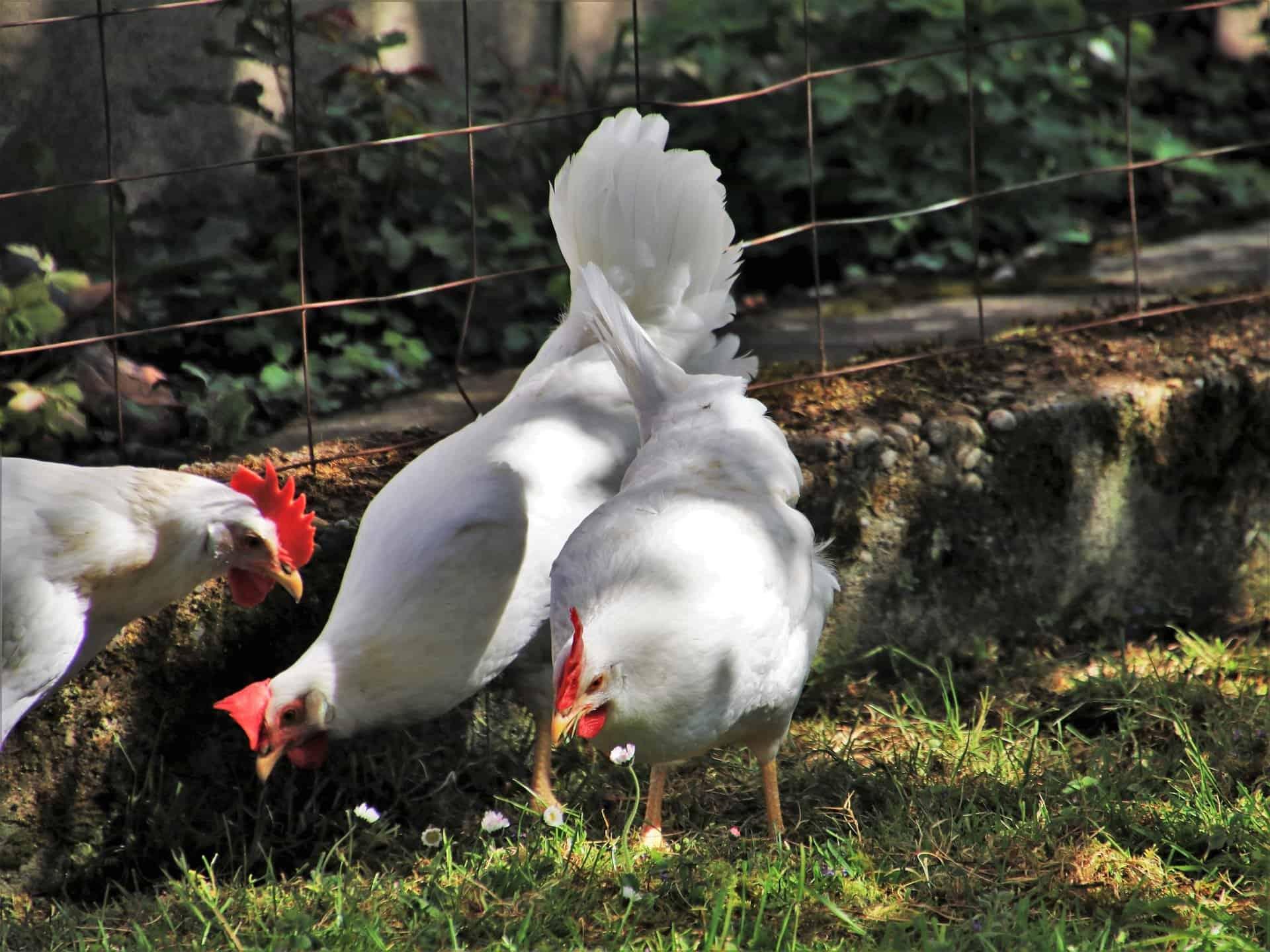 Poulets Doux