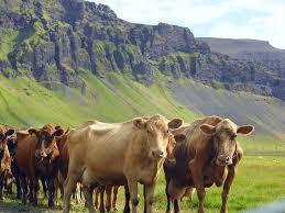 consommation de viande : bovins